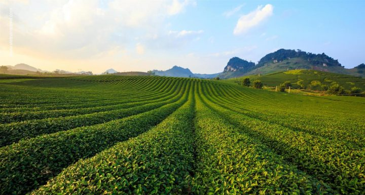 Moc Chau Tea Hill where hosted Vietnamese Traditional Tea festivals