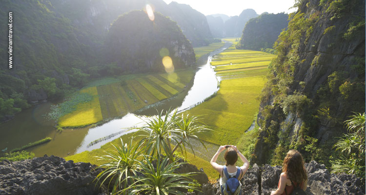 golden rice field in Ninh Binh