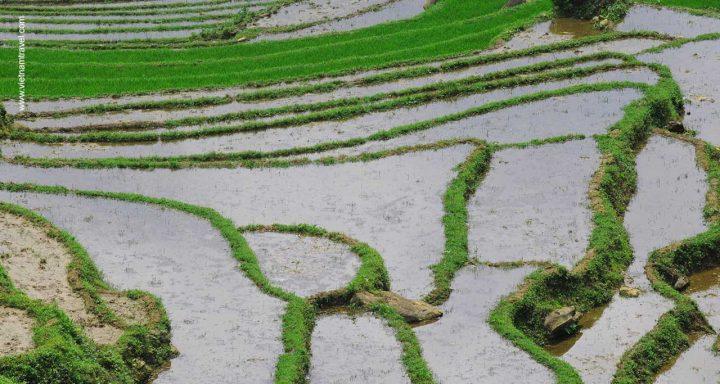 Vietnam rice field1