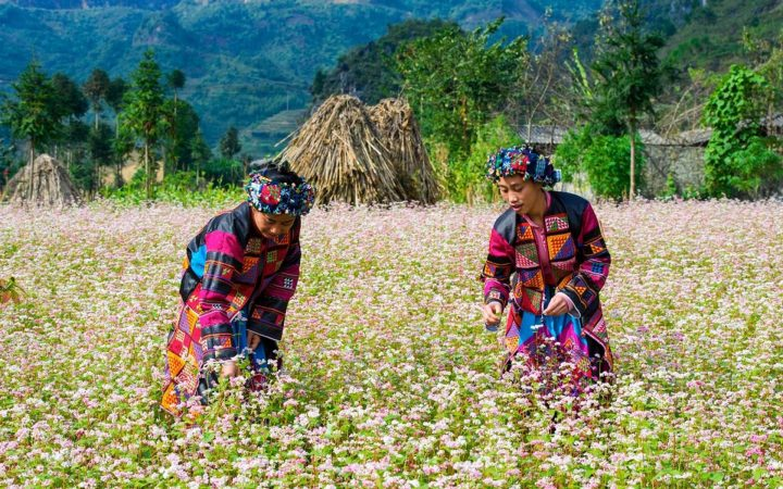 Buckwheat Flower is a traditional plant in the northwest highlands of Vietnam.