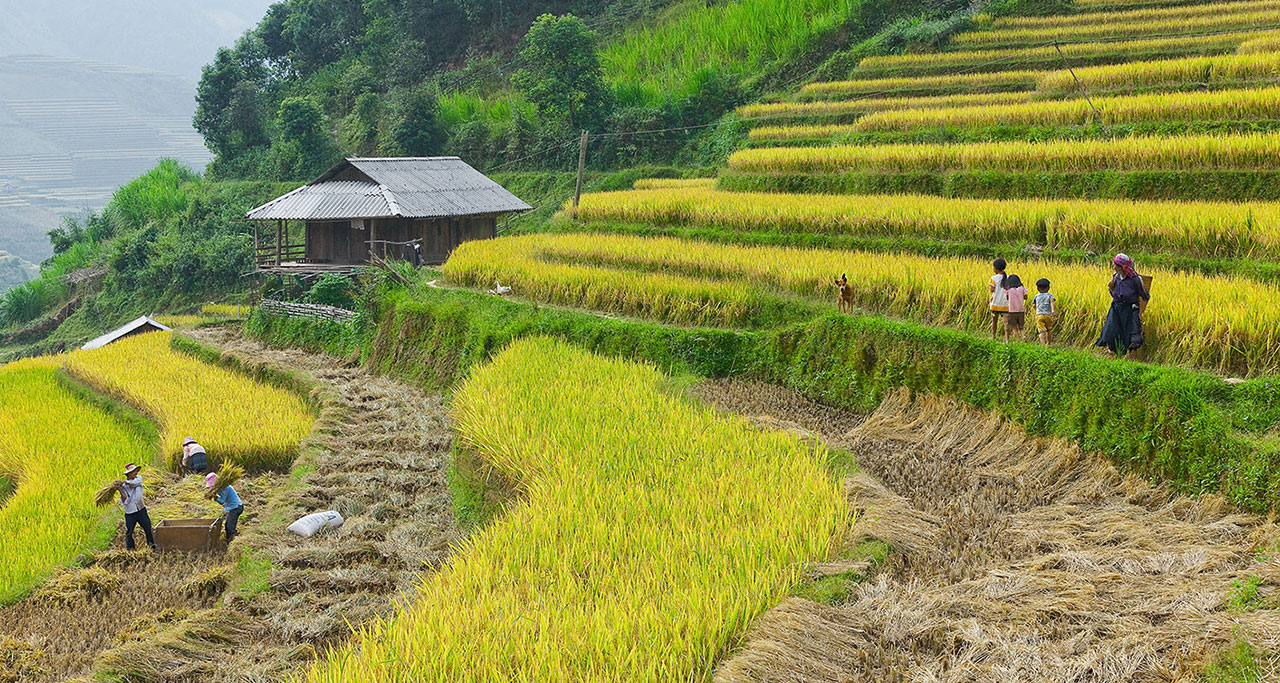 Rice paddy in Che Cu Nha Village