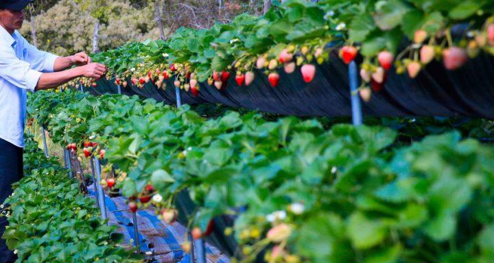 Strawberry farms in Moc Chau
