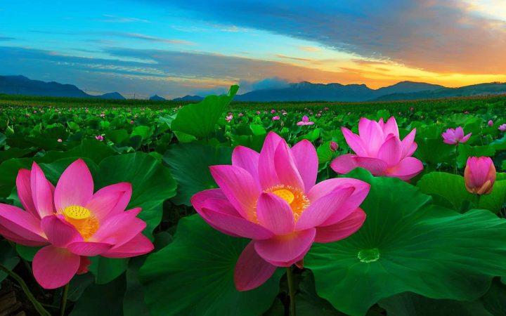 Lotus is chosen as national flowers of Vietnam.
