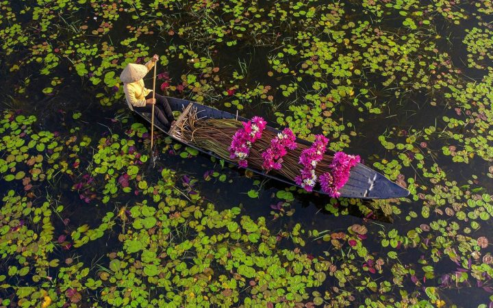 Local farmers in Mekong Delta row boat to harvest water lily during flooding season.