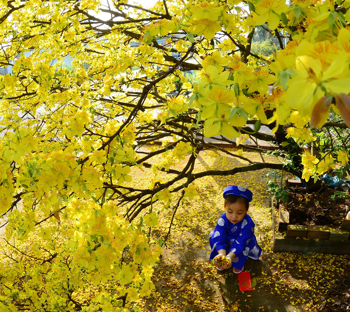A naughty boy in Vietnam traditional long dress is playing with falling petals of yellow apricot flowers.