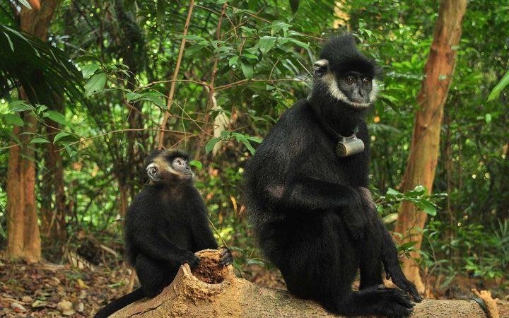 langur in Phong Nha Ke Bang National Park