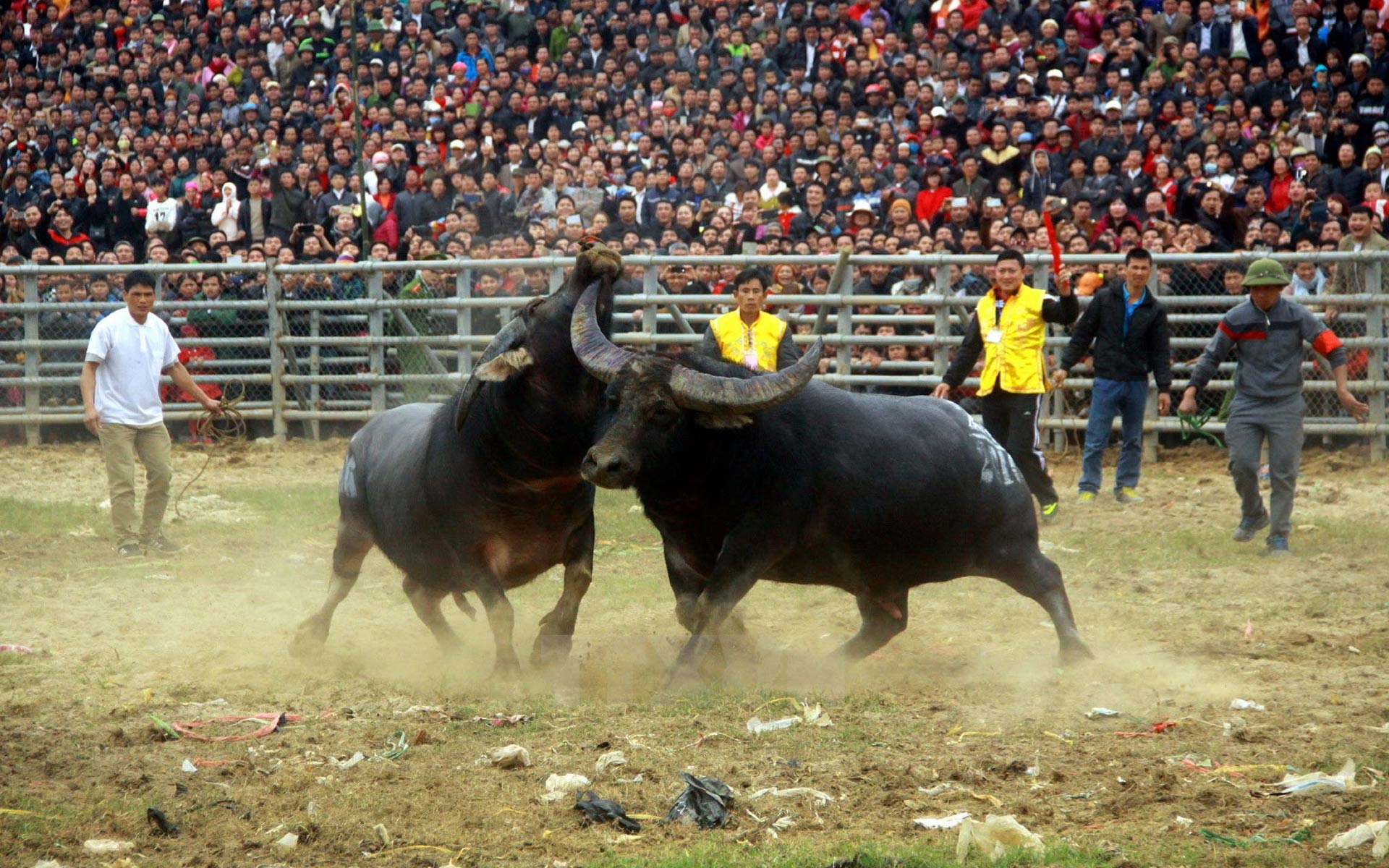 The excitement of the crowds in Buffalo Fighting Festival in Do Son, Hai Phong.