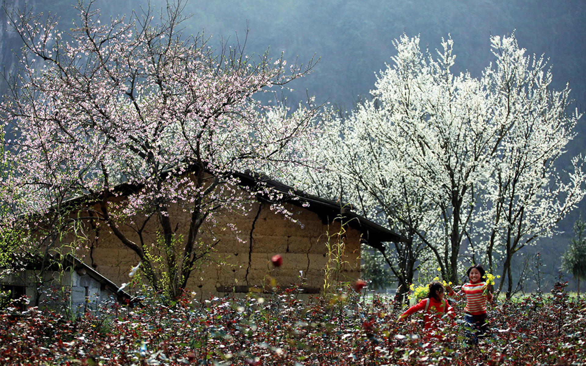 The beauty of Ha Giang in the colors of plum and apricot blossoms