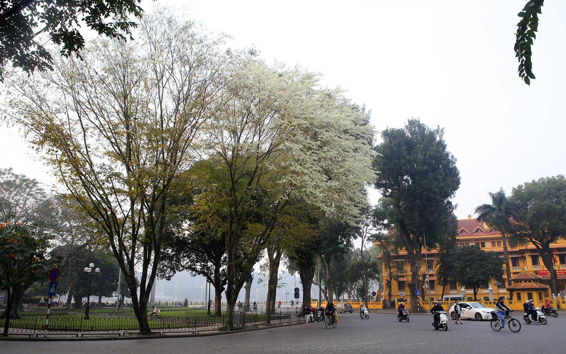 Milk flowers bloom on the streets of Hanoi capital in September.
