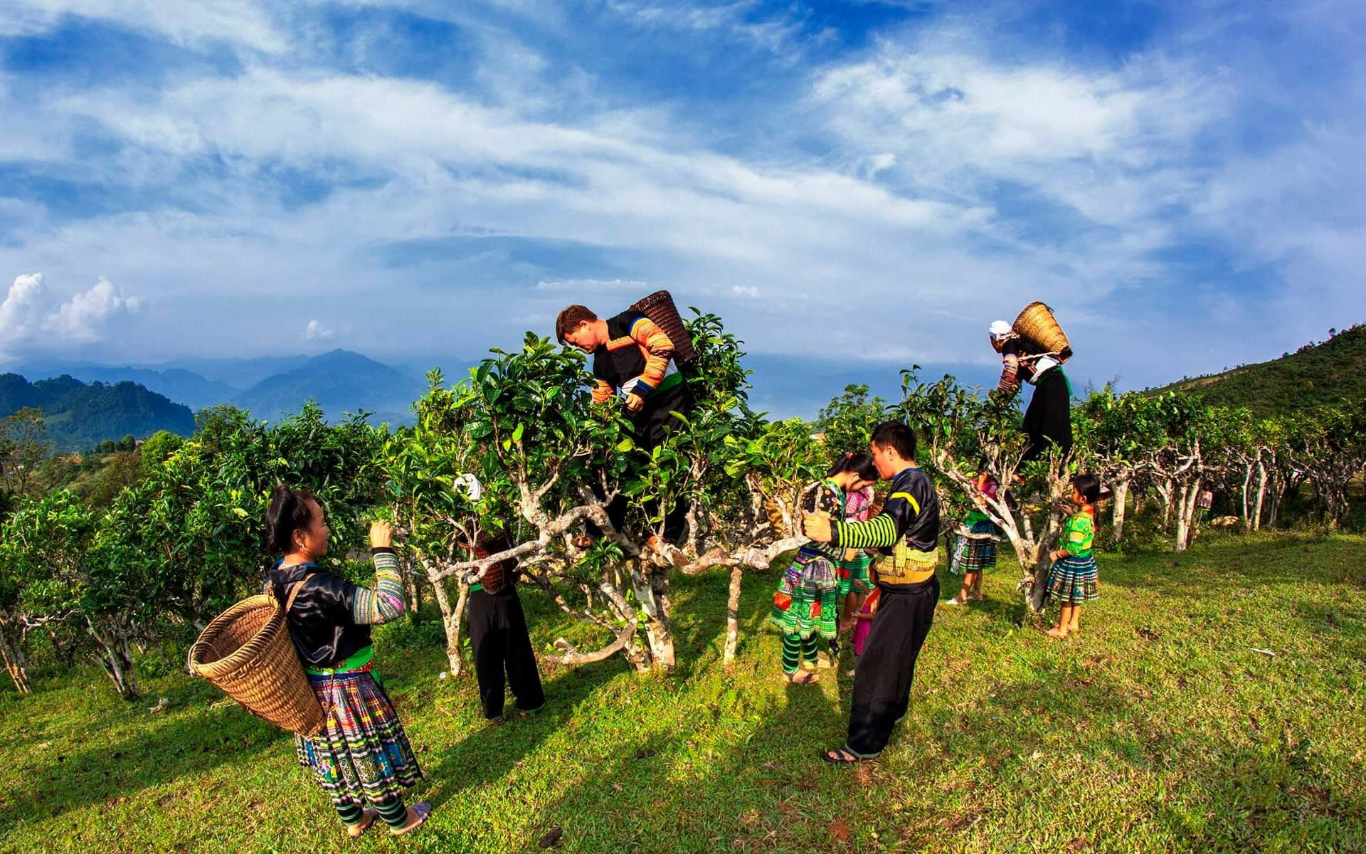 Suoi Giang gets its fame for growing over hundred years old tea trees, which provide the famous Shan Tuyet tea.