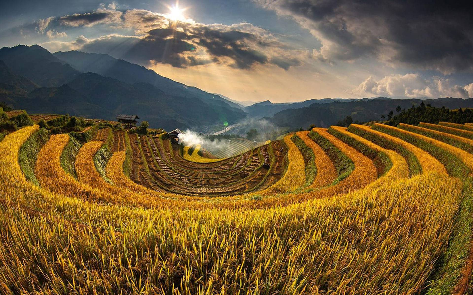 golden rice filed in Mu Cang Chai