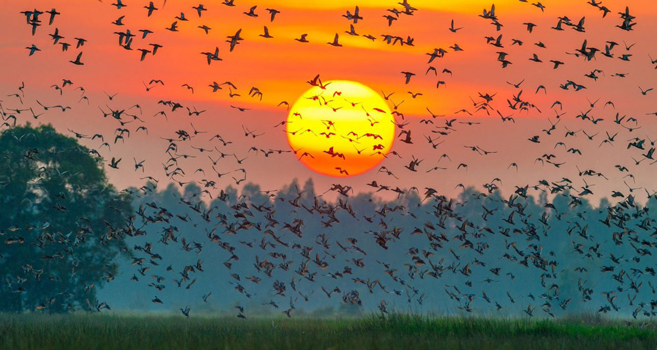 Thousands of storks and birds flying back their nests at sunset