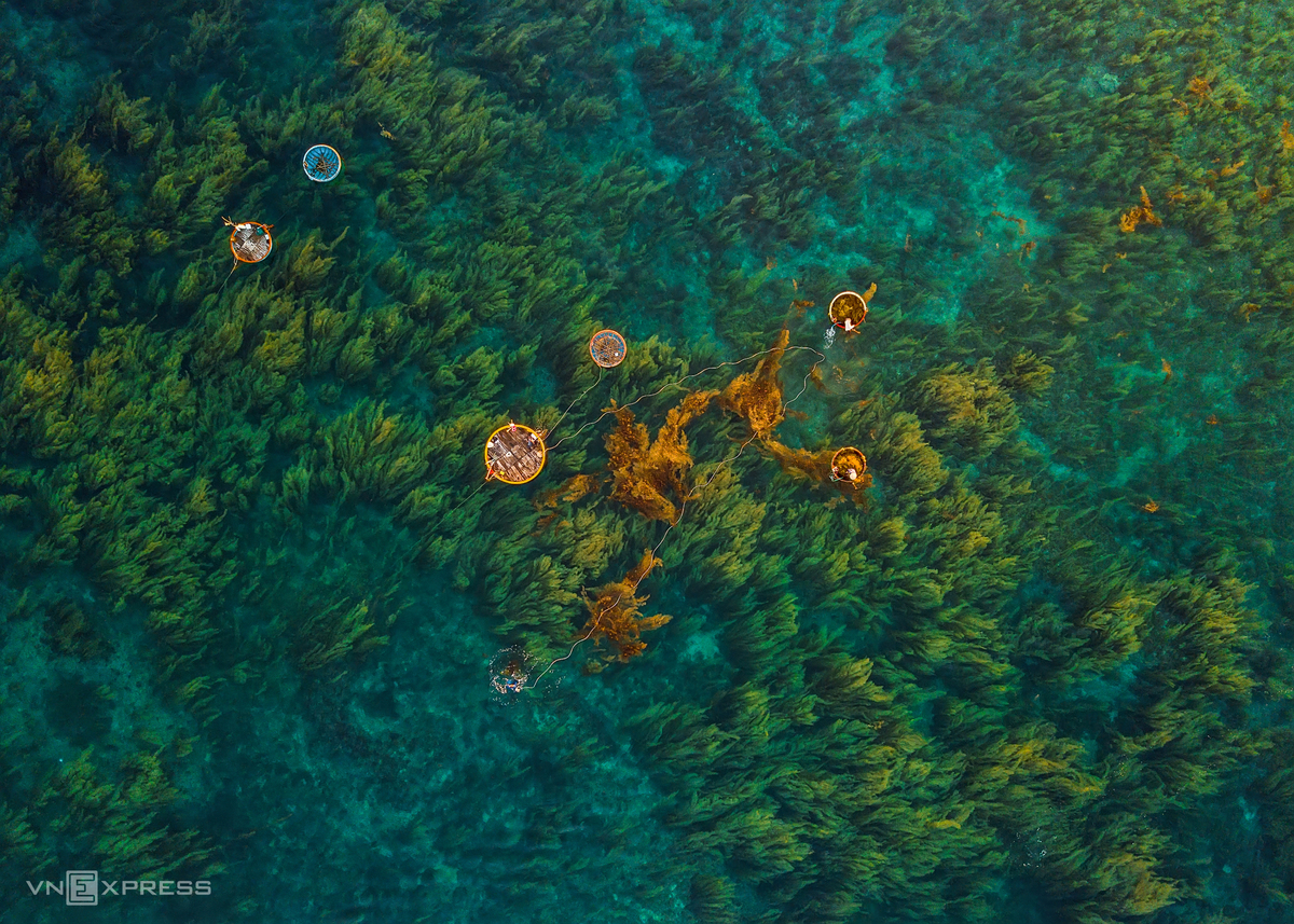 A view from above basket boats in the sea of seaweed in Quang Ngai
